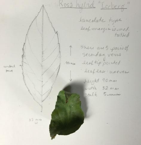 leaf portrait - rosa